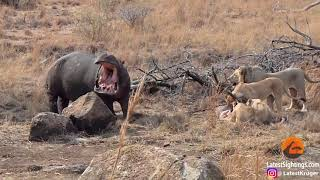 Download Yikes! Hungry hippo gatecrashes lion pride's dinner Video