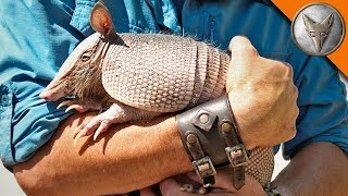 Download Armadillo Mealtime! Video