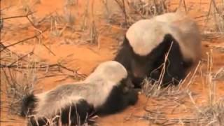 Download National Geographic Snake Killers Honey Badgers Of The Kalahari Video