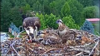 Download Dunrovin Ranch Osprey Nest Video 2018-06-29 082549-huge live fish 7.37 AM~PI8C97 Video