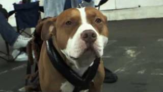 Download Pit Bulls - Documentary - Part1 Video
