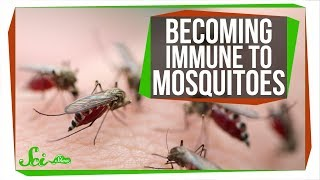 Download The Secret to Becoming Immune to Mosquito Bites Video