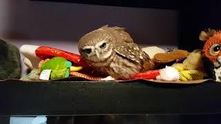 Download Злая птица Гнусь. Оттачиваю навыки игры в Angry bird. Сова вида домовый сыч. Video