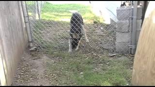Download dog going under a fence Video