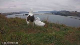 Download Royal Cam highlight 2019: LGK feeds chick 18 April Video
