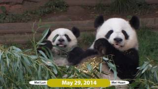 Download Mei Lun and Mei Huan - Over 3 Years at Zoo Atlanta Video