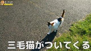 Download 【野良猫】三毛猫がついてくる【地域猫】 Video