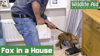 Download Fox cub rescued from a living room Video