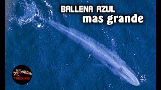 Download BALLENA AZUL: La ballena mas grande del mundo – Ballenas gigantes Video