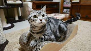 Download 新しい爪とぎを気に入ってくれた猫 Video