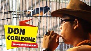 Download ROYAL CUP XVII : Aksi Sujud Hormat Juri DON CORLEONE Murai Batu Ring BnR Ade KKLB/Yehezkiel Video
