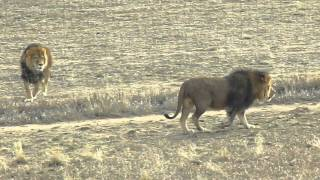 Download Wild Animal Sanctuary - Lions Feeding Day Video
