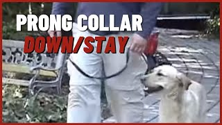 Download Prong Collar Video #2 Down/stay Video