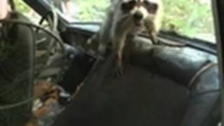 Download Man Fights Raccoon Inside Car | Call of the Wildman Video
