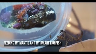 Download FEEDING TIME: New Budwing Mantis and Dwarf Fuzzy Lionfish Video