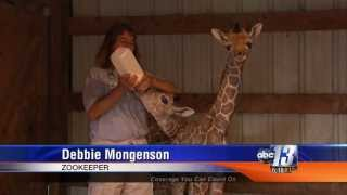 Download Rare, Twin Giraffe's born in VA Video
