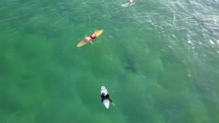 Download Aerial Footage Captures Shark Lurking Below Surfers at Kiama Video