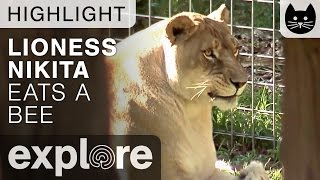 Download Lioness Eats a Bee - Live Camera Highlight Video