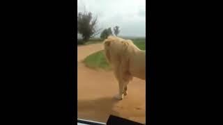 Download Habib Umar @Lion Park Video