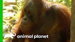 Download Tensions Rise As Palas Island Orangutans Cause Trouble   Orangutan Island Video