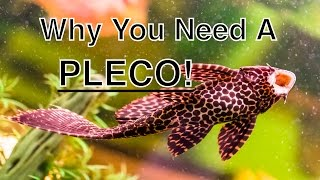 Download The Benefits Of Having A Pleco In Your Aquarium Video