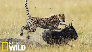 Download Guépard qui chasse - Nat Geo Wild Video