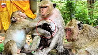 Download Sweetpea stupid crazy, he fights new baby and mum, mum angry Youlike Monkey 744 Video