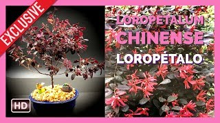 Download Bonsai Loropetalum Chinense Video