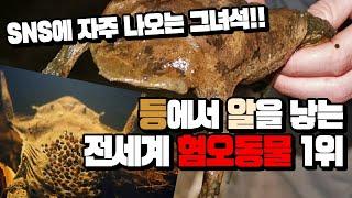 Download 전세계 혐오동물 1위 등으로 새끼낳는 개구리 데려왔습니다 ㅎㄷㄷ 실제모습은 의외로..? Pipa pipa frog Video