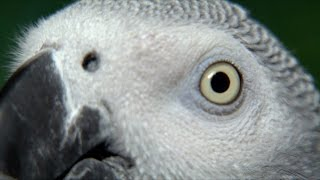Download African Grey Parrot: Species in Decline (French) Video