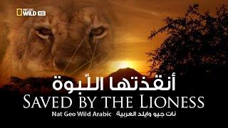 Download أنقذتها اللبوة   نات جيو وايلد العربية   Nat Geo Wild Arabic Video