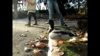 Download Pato pato pato pato pato! VUELA! Video
