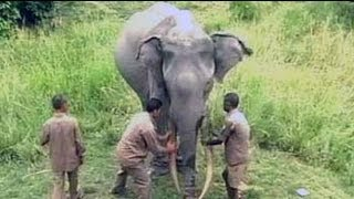 Download A 72-year-old elephant India is indebted to Video