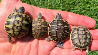 Download Incubating Tortoise Eggs & Rearing Hatchlings Video