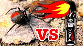 Download Deadly Redback Spider & Brown Recluse Spider Vs Rexona Flamethrower (Warning Scary Video) Video