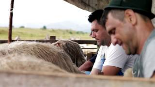 Download Milking Sheep by Hand in Transylvania Video