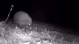 Download European Hedgehog Video