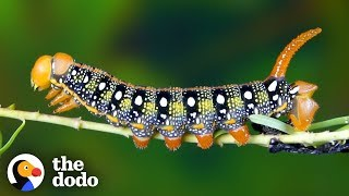 Download Watch This Caterpillar Turn Into A Hawk-Moth   The Dodo Video