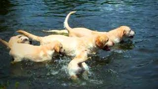 Download Funny Labradors 🐶🐶 Awesome Labradors (Part 1) [Funny Pets] Video