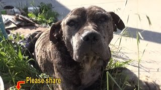 Download Dennis - a sick, neglected Pit Bull gets abandoned on a bridge and left to die. Please share. Video