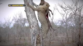 Download How the ultimate stealth predator, the leopard, survives in the wilderness Video