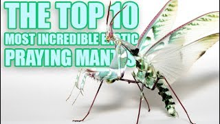 Download 10 Most Incredible Exotic Praying Mantis You Can Have as a Pet Video