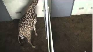 Download 10-22-12 Autumn Labors (Giraffe at The Greenville Zoo - SC) Video