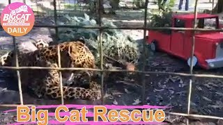 Download Big Cat Rescue~ Armani and Manny getting Christmas Enrichment! 12182018 Video