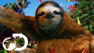 Download The Most HEARTBREAKING Sloth Bromance | Meet The Sloths Video