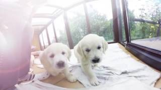 Download Virtual Dream - 360 Golden Retriever Puppies ! Video
