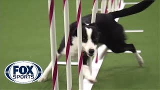 Download Watch Border Collie, Tex, Win 2015 Masters Agility Championship | FOX SPORTS Video