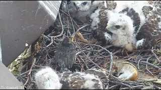 Download Cornell Lab Red-tailed Hawks - Hawk chick caught a starling chick! 27.05.2014. Video