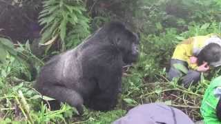 Download Tense encounter with a Silverback Mountain Gorilla in Rwanda Video