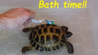Download Giving our Tortoise's a bath. Cleaning your Horsefield Tortoises. Video